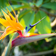 Bird Of Paradise Flower - PhotoDune Item for Sale