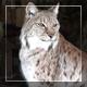 Big Cat - VideoHive Item for Sale