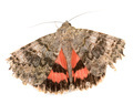 Red underwing butterfly