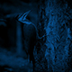 Woodpecker Pecking Tree At Night - VideoHive Item for Sale