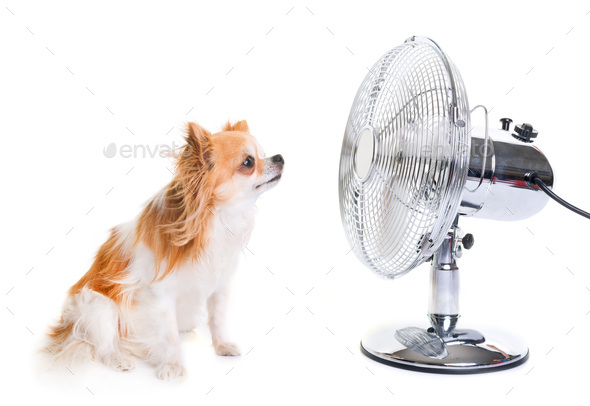 chihuahua and fan - Stock Photo - Images