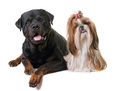 shihtzu and rottweiler