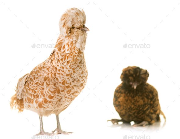Padovana chicken in studio - Stock Photo - Images