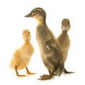 Indian Runner ducking