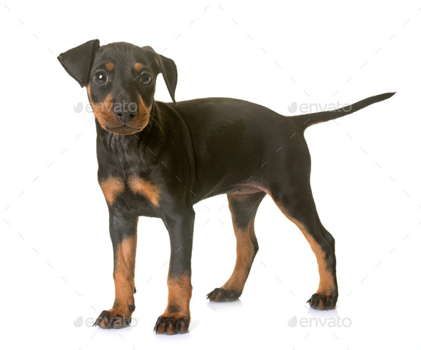 Puppy Manchester Terrier Stock Photo By Cynoclub Photodune