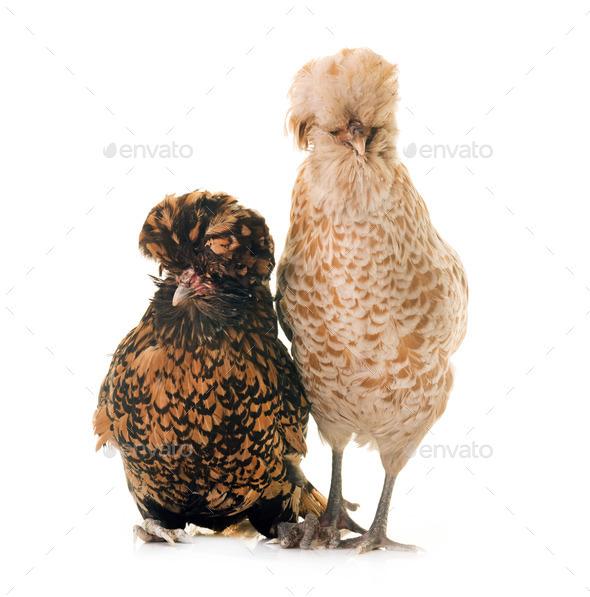Padovana chicken in studio - Stock Photo - Images
