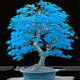 BlueBonsai