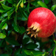 Ripe pomegranate on the tree branch - PhotoDune Item for Sale