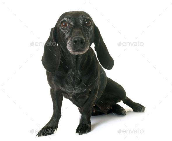 old black dachshund - Stock Photo - Images