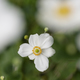 White flowers of autumnal ranunculus. - PhotoDune Item for Sale