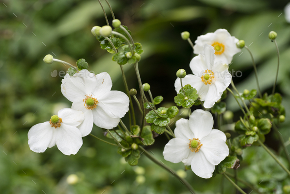 White flowers of autumnal ranunculus. - Stock Photo - Images