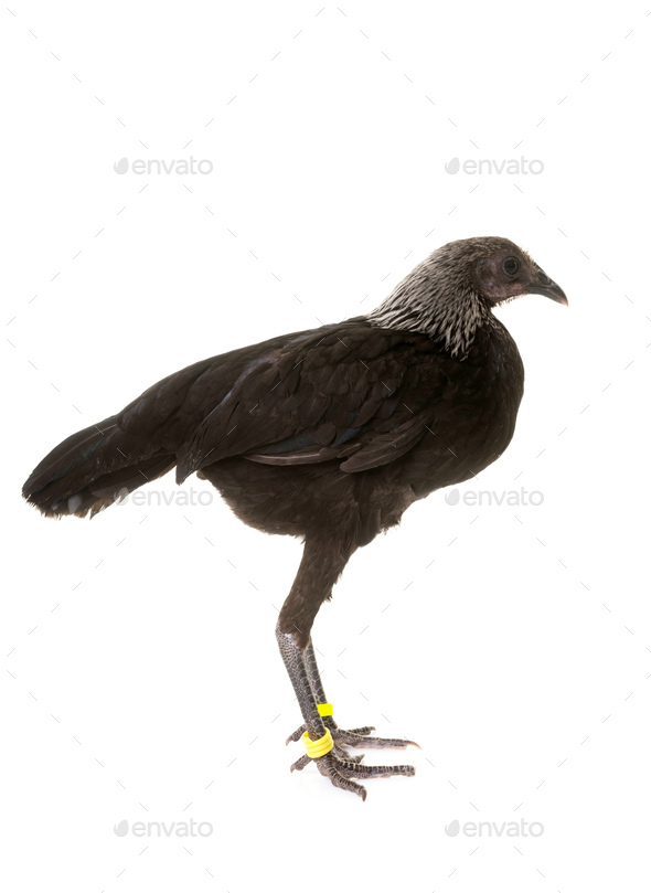 Modern Game fowl - Stock Photo - Images