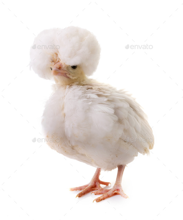 young Padovana chicken - Stock Photo - Images