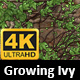 Growing Ivy Transition 4K