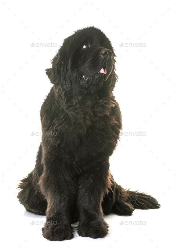 adult newfoundland dog - Stock Photo - Images
