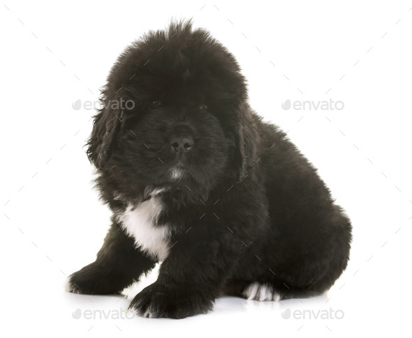 puppy newfoundland dog - Stock Photo - Images