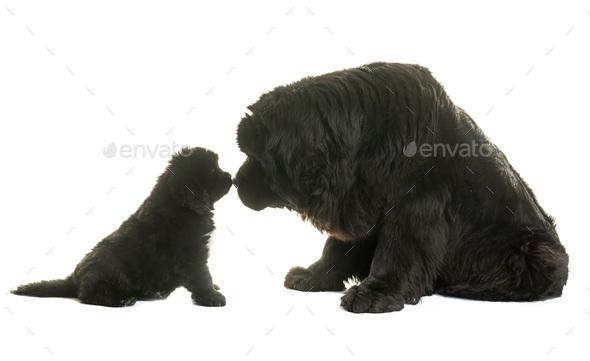 puppy and adult newfoundland dog - Stock Photo - Images