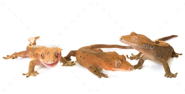 Crested gecko in studio - Stock Photo - Images