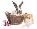 Checkered Giant rabbit and chihuahua