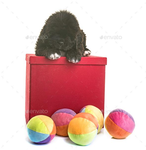 puppy newfoundland dog - Stock Photo - Images