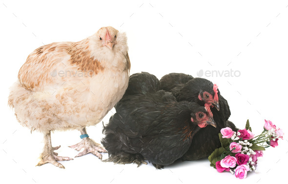 faverolle and pekin chicken - Stock Photo - Images