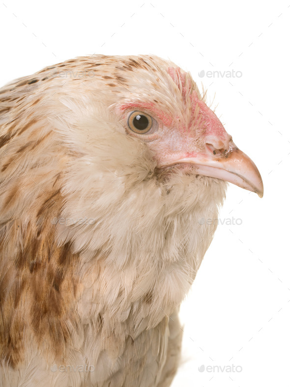 faverolle chicken in studio - Stock Photo - Images