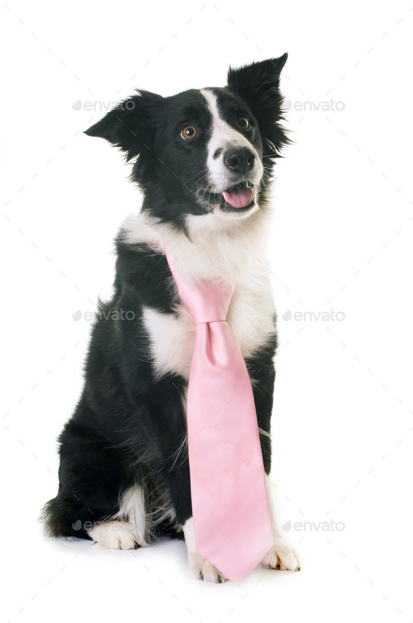 border collie and tie - Stock Photo - Images