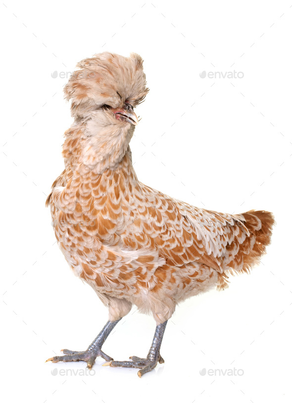 brown Padovana chicken - Stock Photo - Images