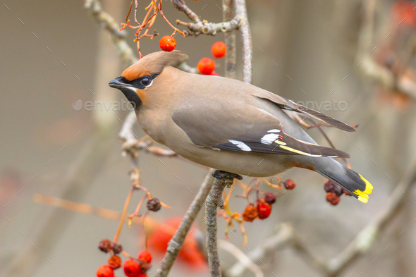 Bohemian waxwing winter guest - Stock Photo - Images