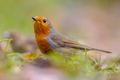 European red Robin in autumnal garden lawn - PhotoDune Item for Sale