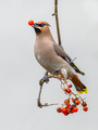 Bohemian waxwing passerine bird on branch