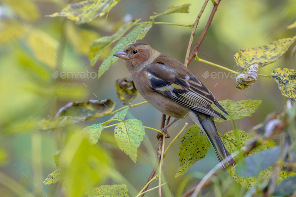 Female Chaffinch between leaves - Stock Photo - Images