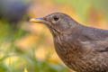 Female blackbird autumnal headshot