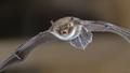 Natterers bat in flight - PhotoDune Item for Sale