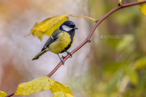 Garden bird Great tit with yellow autumn leaves - Stock Photo - Images