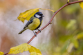 Garden bird Great tit with yellow autumn leaves - PhotoDune Item for Sale