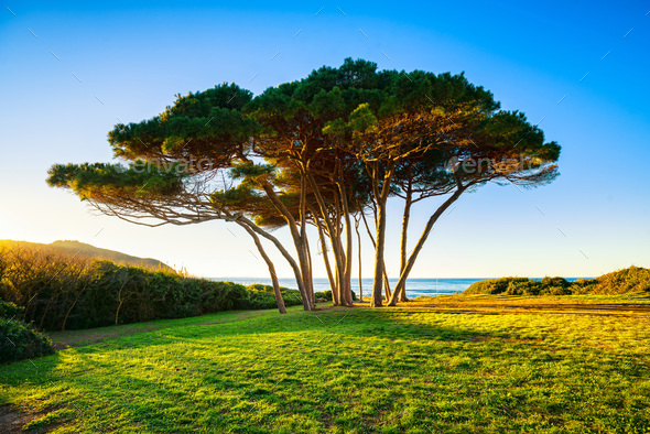 Maritime Pine tree group near sea and beach. Baratti, Tuscany. - Stock Photo - Images