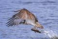 Osprey (Pandion haliaetus) - PhotoDune Item for Sale