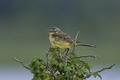 Western yellow wagtail (Motacilla flava) - PhotoDune Item for Sale