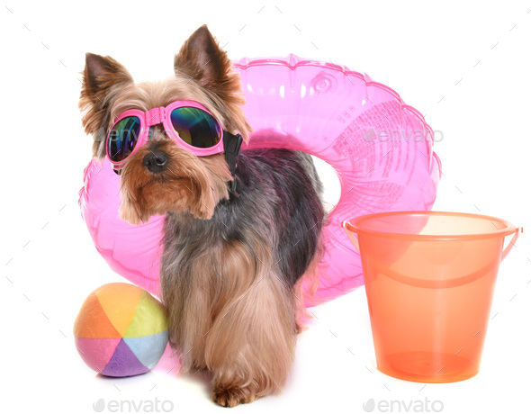 yorkshire terrier in holidays - Stock Photo - Images