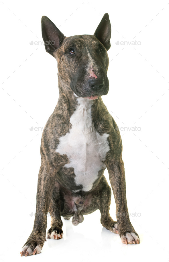 brown bull terrier - Stock Photo - Images