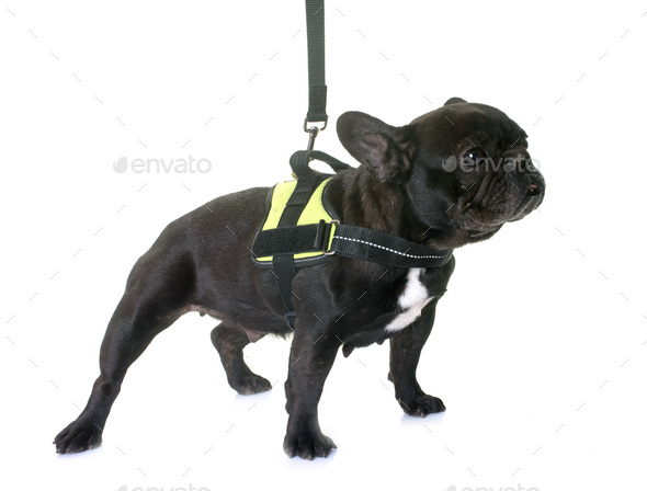 french bulldog and harness - Stock Photo - Images