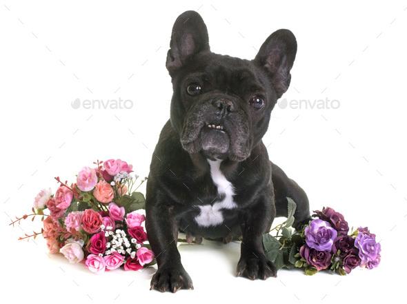 french bulldog in studio - Stock Photo - Images