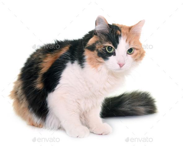 tricolor cat in studio - Stock Photo - Images