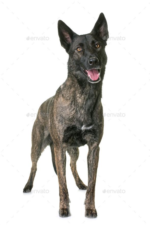 dutch shepherd in studio - Stock Photo - Images