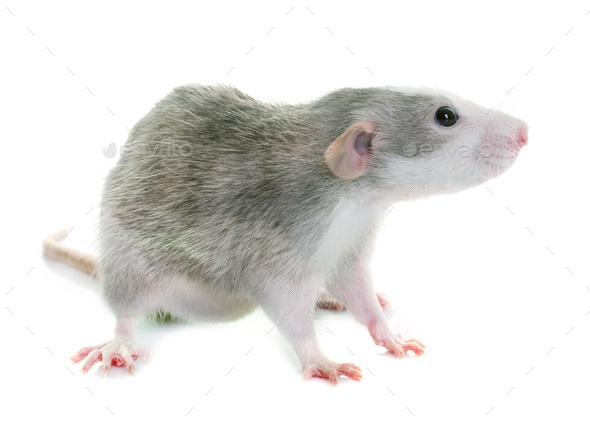 young rat bicolor - Stock Photo - Images
