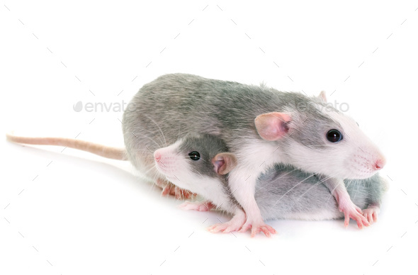young rats bicolor - Stock Photo - Images