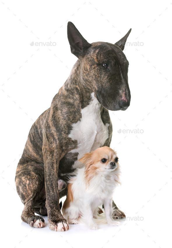 brown bull terrier and chihuahua - Stock Photo - Images