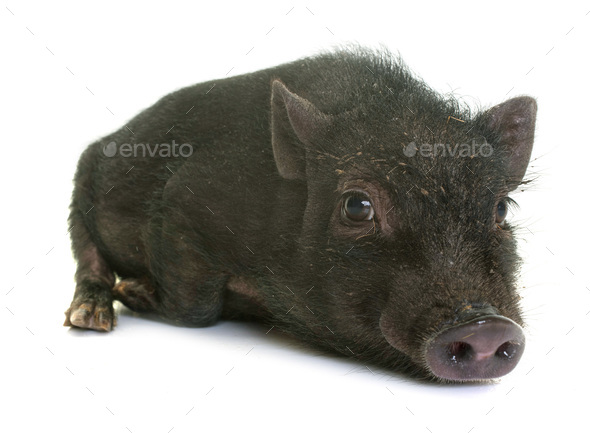 black piglet in studio - Stock Photo - Images