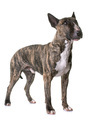 brown bull terrier